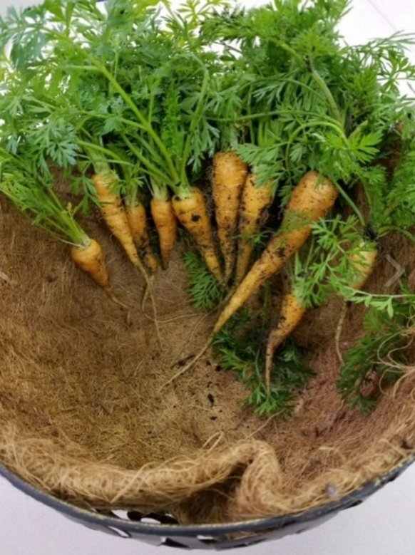 Stoneview Garden Carrots